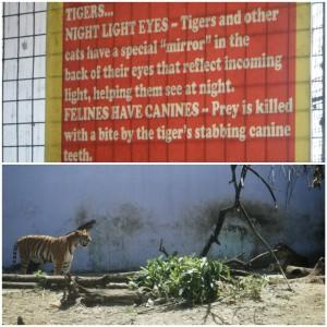 Tigers at Malabon Zoo by Hitokirihoshi